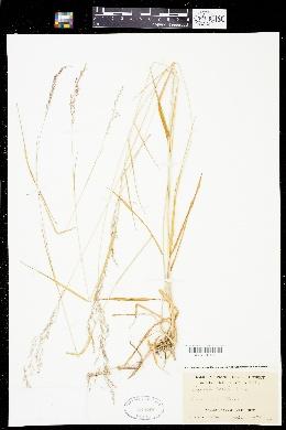 Agrostis hallii image