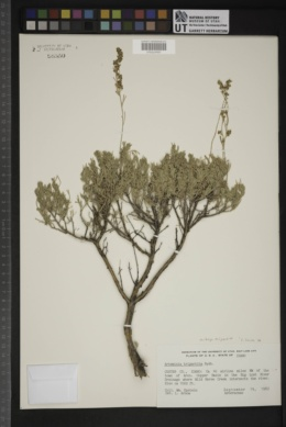 Artemisia tripartita image
