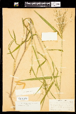 Panicum verrucosum image