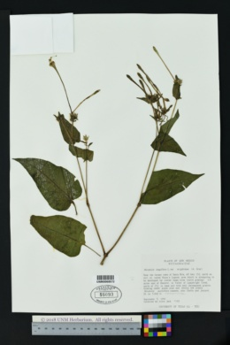 Mirabilis longiflora var. wrightiana image