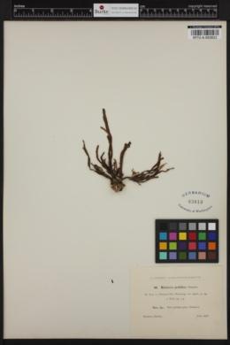 Dictyopteris prolifera image