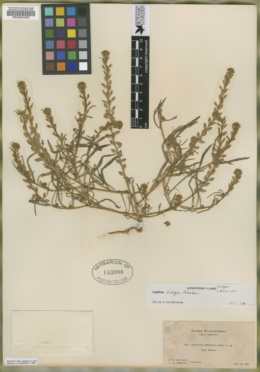 Image of Lepidium brownii