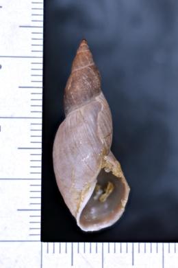 Image of Stagnicola reflexa