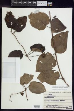 Stigmaphyllon blanchetii image