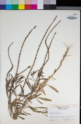 Image of Verbena simplex
