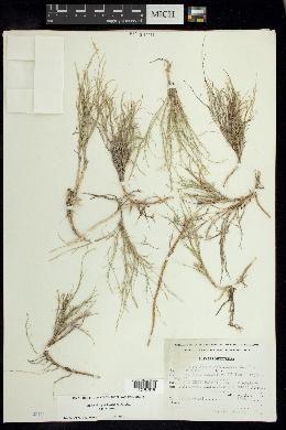 Muhlenbergia villiflora image