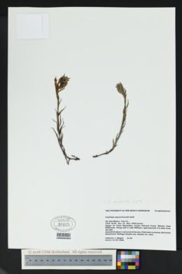 Castilleja sulphurea image