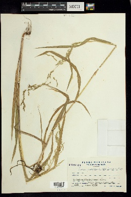 Cinna poiformis image