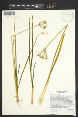 Allium plummerae image