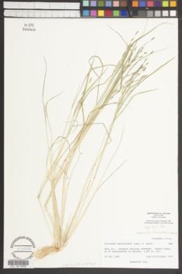 Diplachne fusca subsp. fascicularis image