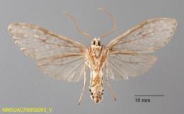 Carales arizonensis image