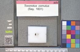 Toxonotus cornutus image