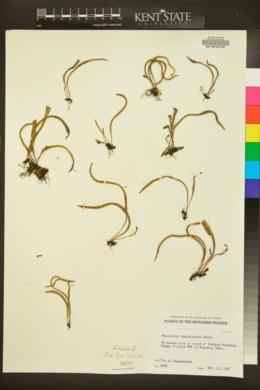 Image of Pleopeltis thunbergiana