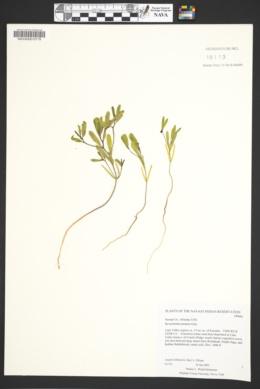 Reverchonia arenaria image