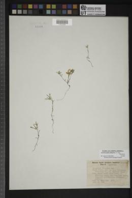 Ancistrocarphus filagineus image