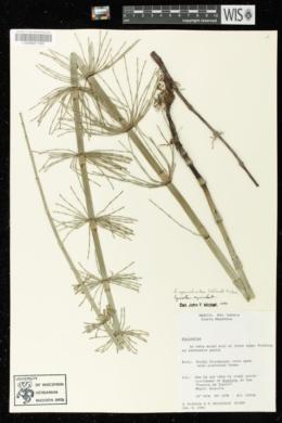 Equisetum myriochaetum image