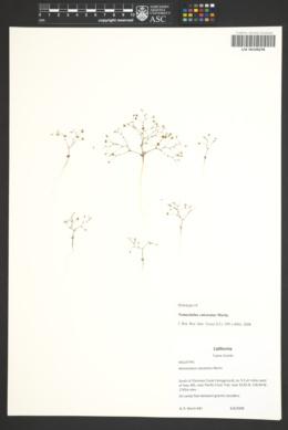 Image of Nemacladus calcaratus