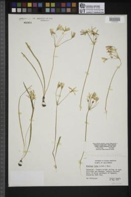 Triteleia ixioides image