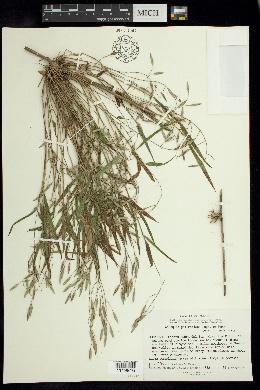 Image of Chusquea galeottiana