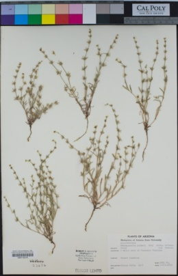Harpagonella arizonica image