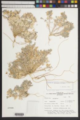 Astragalus beatleyae image