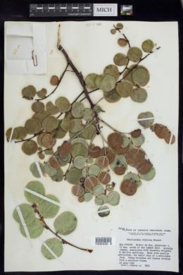 Image of Phyllanthus chryseus