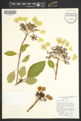 Image of Hydrangea seemannii