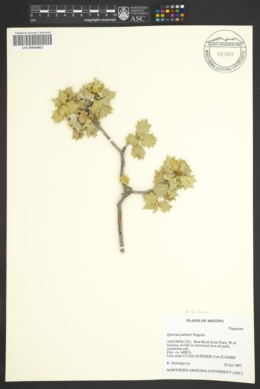 Quercus palmeri image