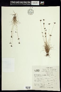 Bulbostylis juncoides image