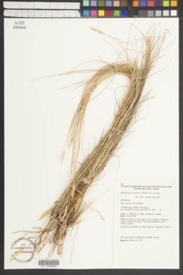 Amphipogon caricinus image