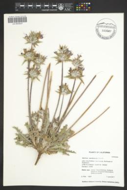 Salvia carduacea image