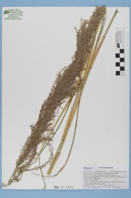 Image of Neyraudia reynaudiana