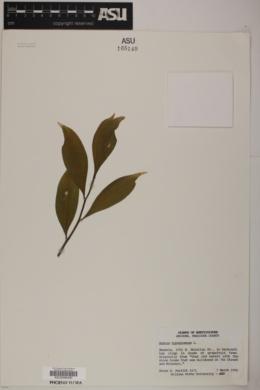 Ruscus hypoglossum image