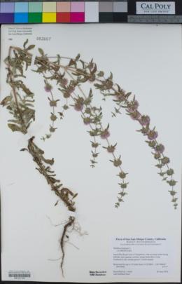 Mentha pulegium image