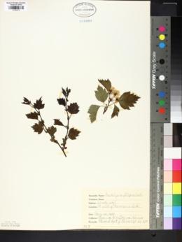 Image of Crataegus filipes