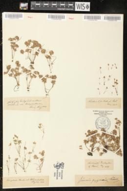 Juncus pygmaeus image
