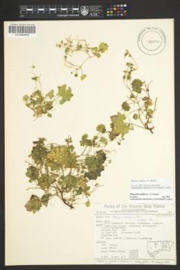 Phacelia laxiflora image