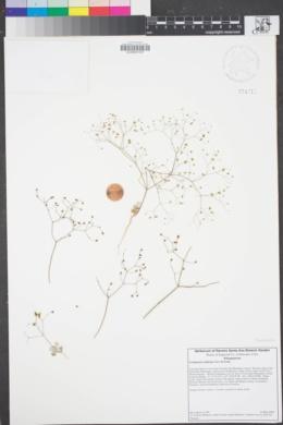 Image of Eriogonum reniforme