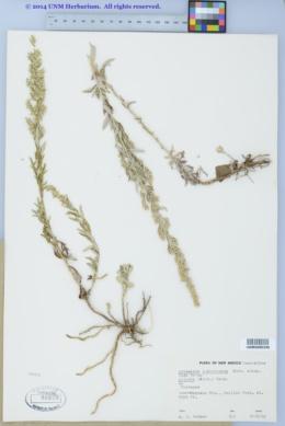 Artemisia ludoviciana subsp. sulcata image