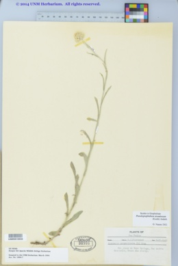 Pseudognaphalium stramineum image