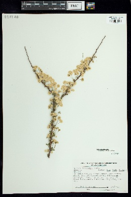 Spiraea thunbergii image