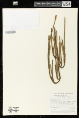 Image of Lycopodium vestitum
