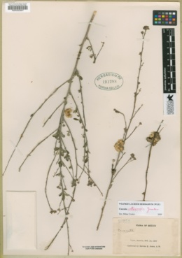 Image of Cuscuta costaricensis