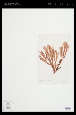 Hymenena venosa image