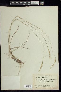 Axonopus purpusii image