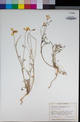 Eschscholzia glyptosperma image