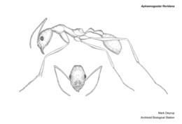 Image of Aphaenogaster floridana