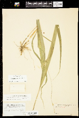 Image of Diarrhena americana
