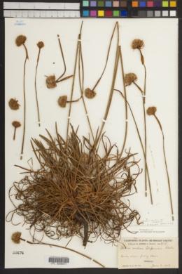 Armeria maritima subsp. californica image