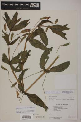 Erythranthe cinnabarina image